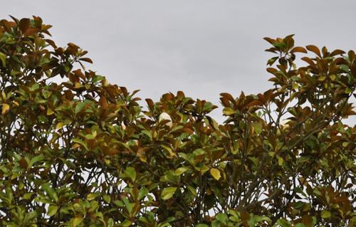 Magnoliagrandifloraflower