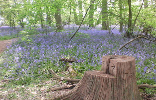 BluebellsatHatchlands2011