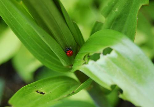 Lilybeetle