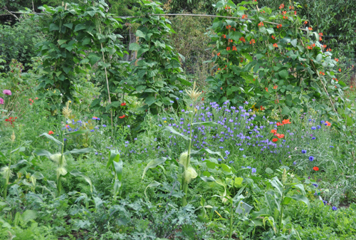 Allotmentbeansandcornflowers