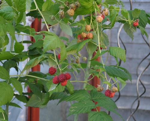 Raspberriesingreenhouse