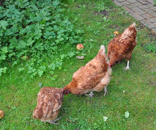 Chickenssep11