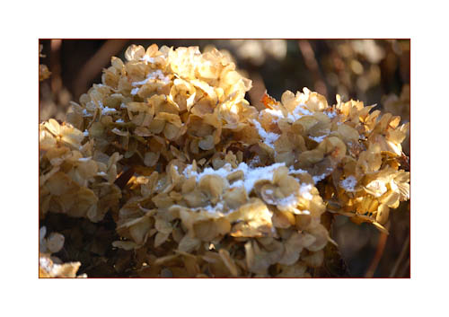 Macrophylla seedhead for web