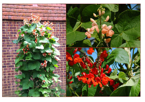 Runner beans montage for web