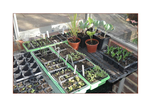 Greenhouseseedtrayssep12-1