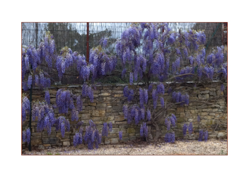 French wisteria-1