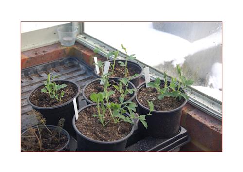 Sweetpeaseedlingsoctplanted-1