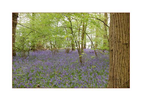 Hatchlands bluebells-3
