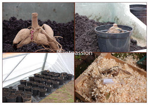 Dahlia tubers potting up-2