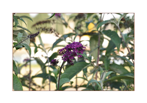 Buddleya Daviddii on sand-4
