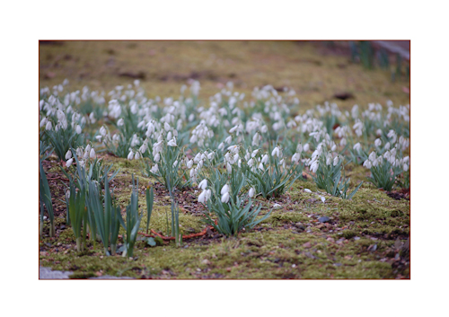 Carpet of snowdrops-2