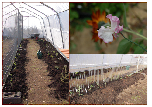 Sweet peas planted in polytunnel-1