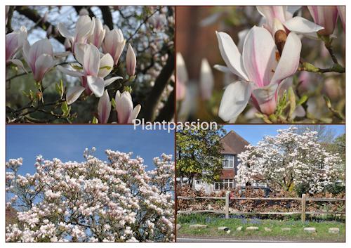 Magnoliainflowerx4-2