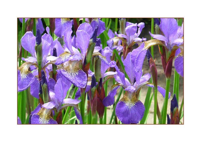 Blue Iris-1