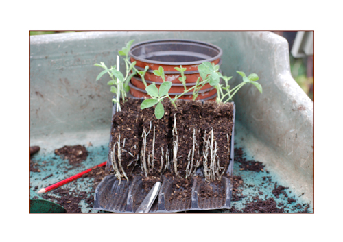 Root trainers with sweet peas-1