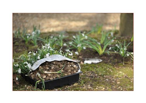 Snowdroptrayforplanting-1