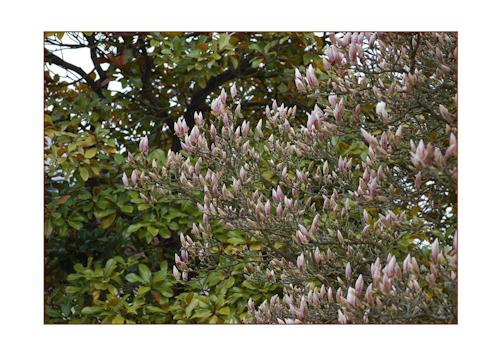 2 magnolias-1