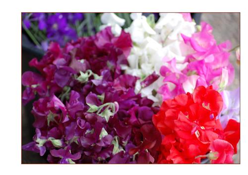 Sweetpea colours-2