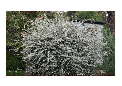 Osmanthus Burkwoodii no pruning-1