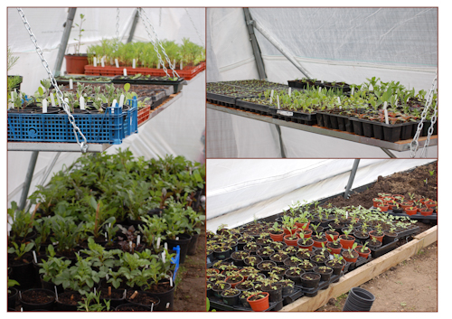 Full polytunnel with seedlings-1
