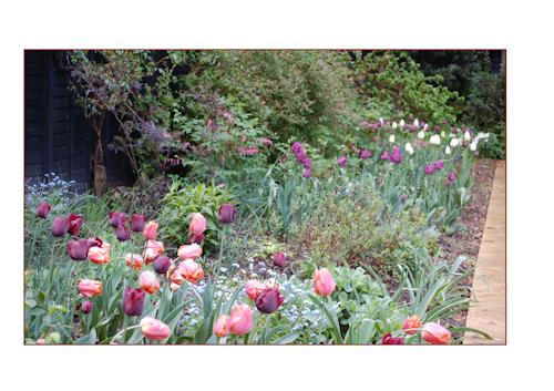 Ilonka tulips may13-4