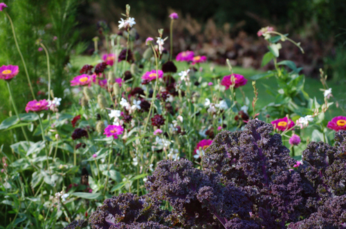 French border with zinnias and purple kale (1 of 1)