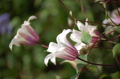 Princess Kate Clematis (1 of 1)