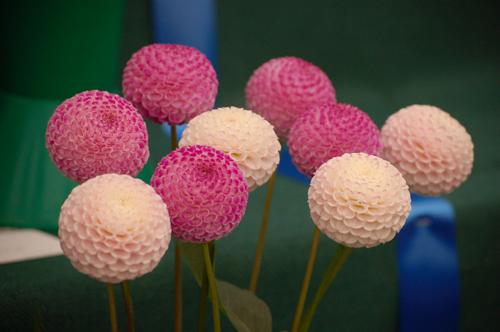 Pink pompom dahlias (1 of 1)