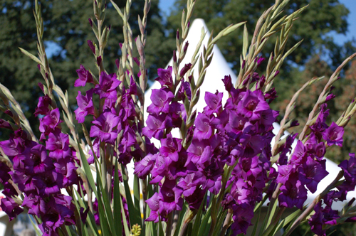Purple gladioli (1 of 1)