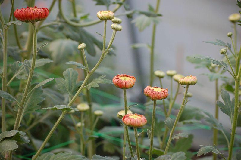 Heather James Chrysanthemum (1 of 1)