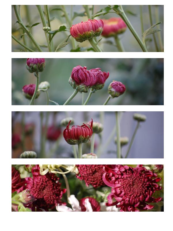 Pink chrysanths (1 of 1)