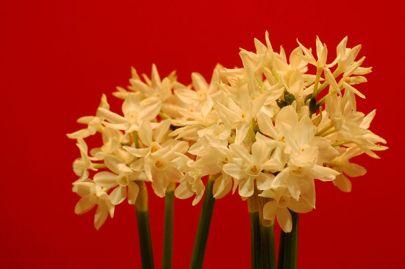 Scented Narsissus Paperwhites (1 of 1)