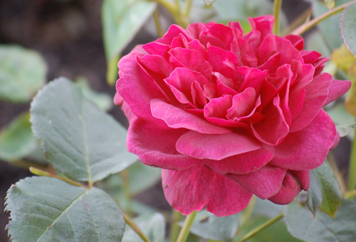 Scented red rose (1 of 1)