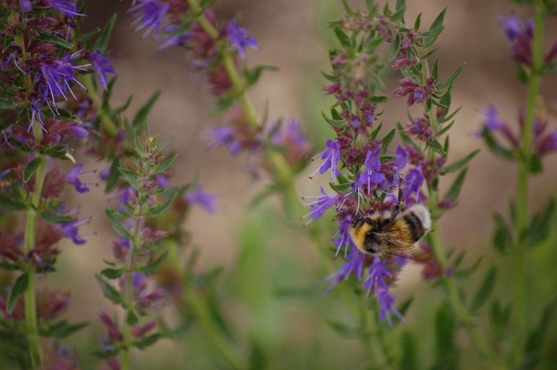 Bee on blue herb (1 of 1)