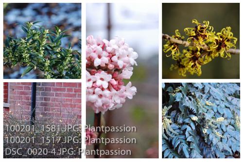 January shrub flowers-2