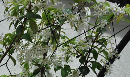 Scented Trachelospermum (1 of 1)