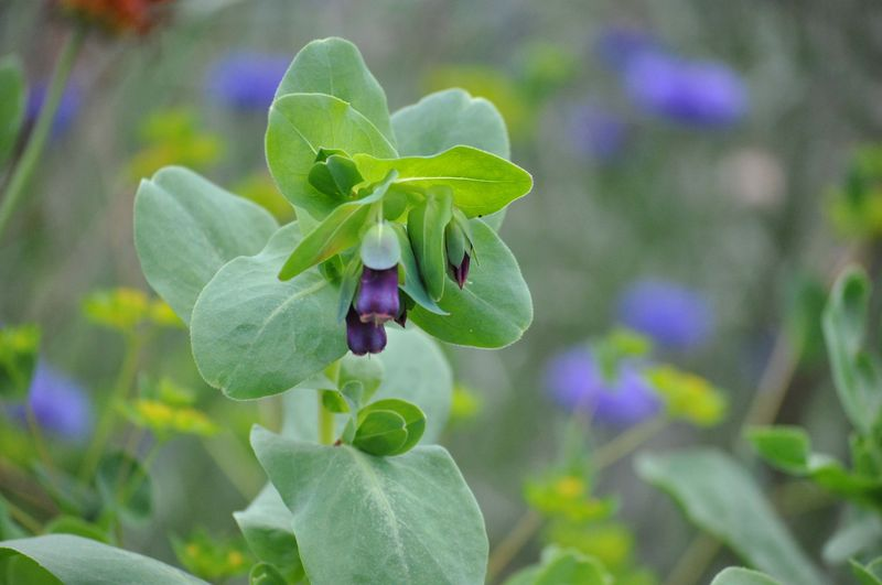 Cerinthe flower (1 of 1)