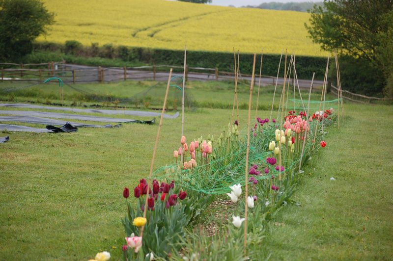 Line of Tulips (1 of 1)