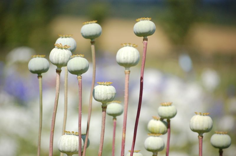 Poppy seed heads (1 of 1)