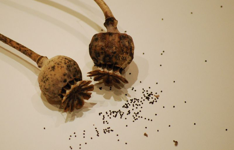 Poppy seed heads and seed (1 of 1)