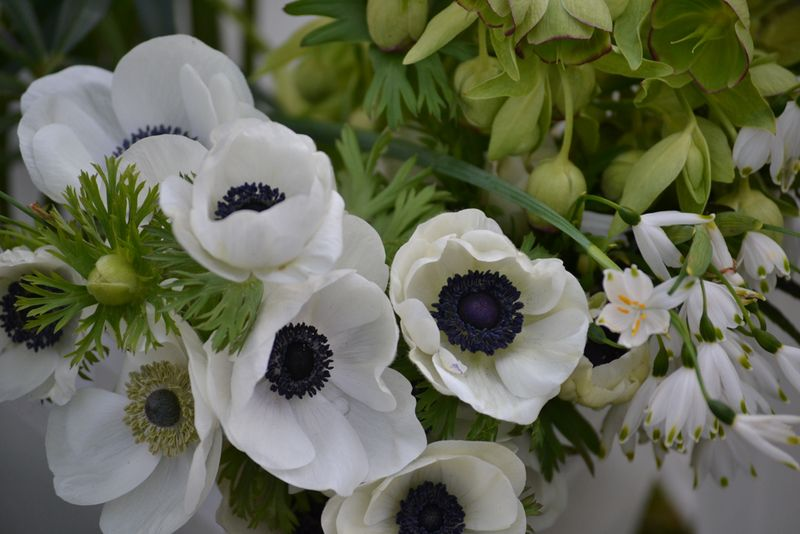 White Galilee anemones