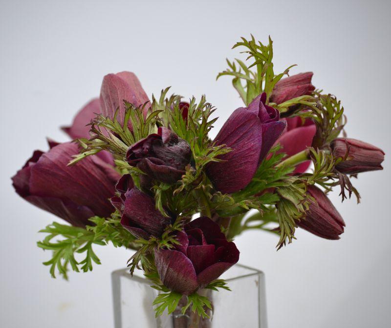 Bordeaux anemones-1