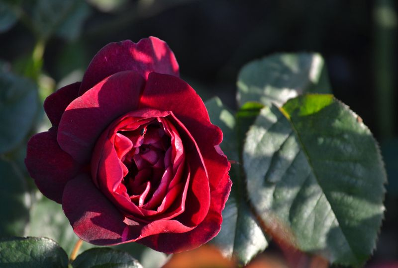 First red rose of the season