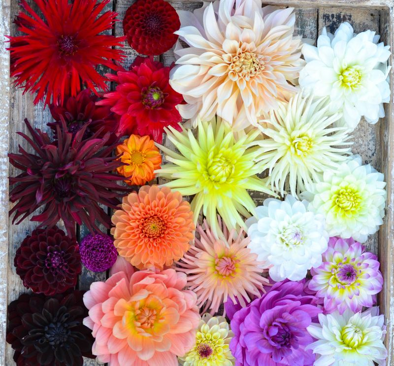 Dahlia heads on a tray