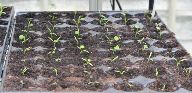 Ammi seedlings