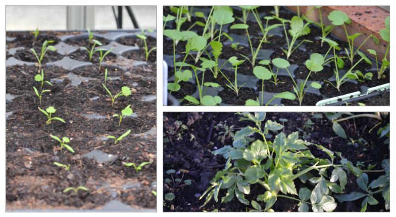 Ammi seedlings montage