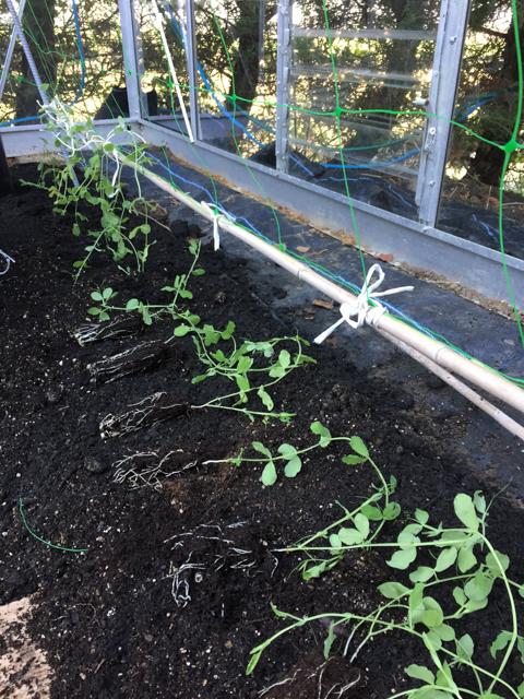 Greenhouse sweetpeas