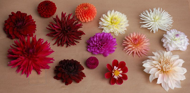 Dahlia heads montage sheet (1 of 1)