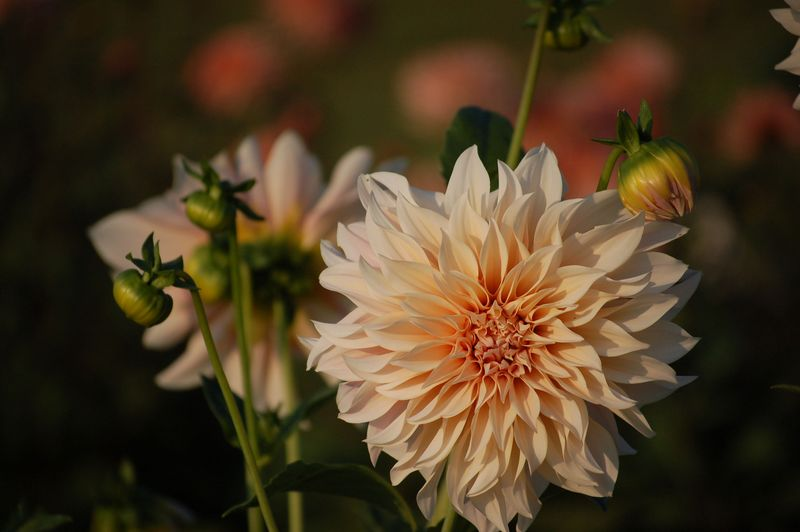 Dahlia cafe au lati (1 of 1)