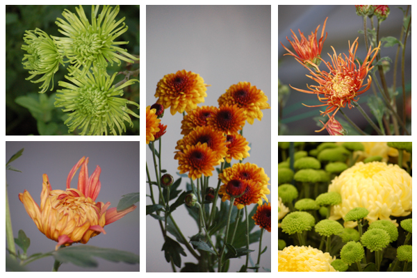 Bronze and green chrysanths-1
